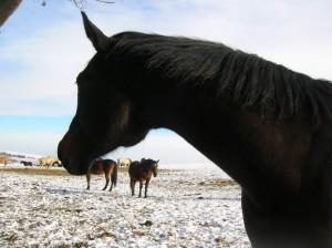 bottyan_equus_hungaria121209_019