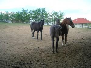bottyan_equus_hungaria12.05.27_028