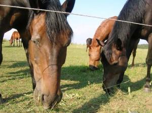 bottyan_equus13.06.30_013